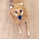 LAUREN CONRAD'S DOG, CHLOE As a lion. (Photo: INSTAGRAM)