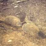 """Two groundhogs on a February """"date."""" (Photo: Twitter)"""