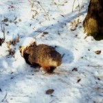 A groundhog emerges from hibernation. (Photo: Twitter)