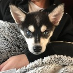 Joe Jonas and Sophie Turner adopted a baby husky together. (Photo: Instagram)