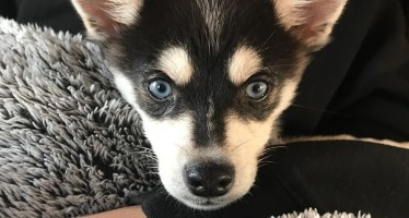 Joe Jonas and Sophie Turner Adopted An Adorable Husky Puppy