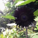She has a black garden in her house, and often shares pictures of her rare goth flowers, from black sunflowers to black pennies. (Photo: Instagram)