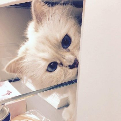 "It's not yet clear who will take care of Choupette. However, her luxurious lifestyle is secured. ""If something happens to me, the person who will take care of her will no be in misery,"" Lagerfeld said in an interview. Choupette will in fact inherit a slice of the late designer's fortune. (Photo: Instagram)"